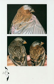 Western Birds 41(2) Back cover