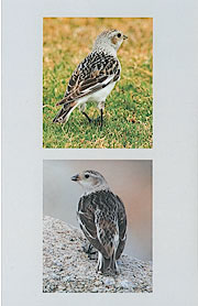 Western Birds 41(4) Back cover