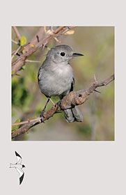 Western Birds 42(3) Back cover
